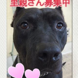 福島の保健所から再出発~ピットブル・新2歳~