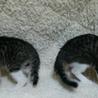 かわいい探検家の白キジ兄妹猫 一緒に里親様のもとに サムネイル4