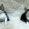 かわいい探検家の白キジ兄妹猫 一緒に里親様のもとに サムネイル3
