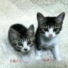 かわいい探検家の白キジ兄妹猫 一緒に里親様のもとに サムネイル2