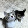 かわいい探検家の白キジ兄妹猫 一緒に里親様のもとに サムネイル5