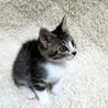 かわいい探検家の白キジ兄妹猫 一緒に里親様のもとに サムネイル6