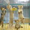 4匹兄弟 ♀三毛猫 マイペース♪ レノちゃん