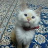 超甘えん坊な長毛のシャム猫mix