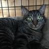 キジトラ子猫女の子❧ねね❧手術済1歳半 サムネイル2