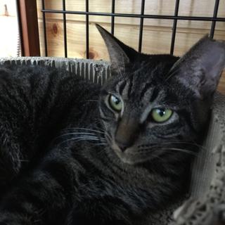 キジトラ子猫女の子❧ねね❧手術済1歳半