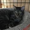キジトラ子猫女の子❧ねね❧手術済1歳半 サムネイル3