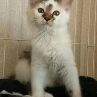 将来有望な長毛子猫!