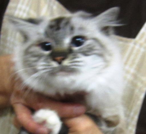 マンチカン足長 成猫 女の子」福岡県 , 猫の里親募集(56074