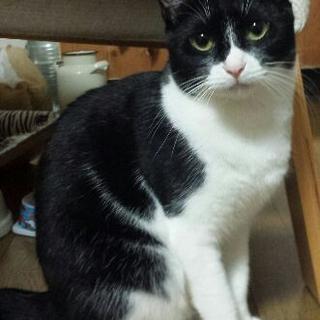 仮名「お母さん」 強くて優しい 目力強い美人猫です
