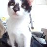 かぎしっぽの生後約4ヶ月の子猫の里親募集