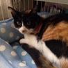 温厚な黒三毛猫のレイラちゃん 5ヶ月