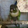 ウロコインコ(ノーマル) 文鳥3羽 再度里親募集