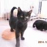 野らにゃん母さんが産んだ黒猫2兄弟の赤ちゃん猫