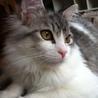 ◆美猫◆ノルウェージャン&マンチカンmixの男の子