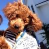 盲目の天使 Tプードル♂6ヶ月4キロ。