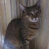 他猫とも仲良し♪大人しいムギワラキジ女子【ねね♀】 サムネイル4