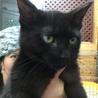 黒子猫3か月♥アイビー♥手術済