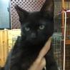 黒子猫3か月♥アイビー♥手術済 サムネイル2