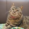 フミフミ大好き♪ぷっくりマズルのまん丸キジトラ猫 サムネイル4