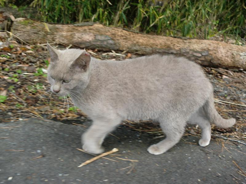 「人慣れしているロシアンブ...」三重県 - 猫の里親募集(57735)