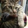 おめめぱっちり、丸顔、抱き心地抜群のキジ猫♂6か月
