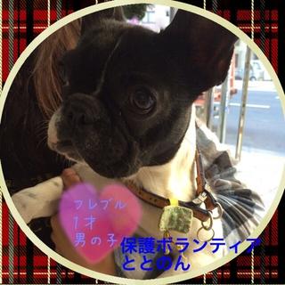 フレンチブルドッグ可愛い太郎君は1才