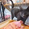 レスキュー!飼いやす過ぎる性格のロシアンブルー子猫