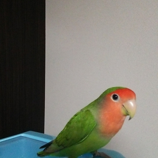 コザクラインコ、ブルー文鳥の里親募集