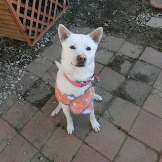 紀州犬MIX