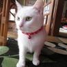 白猫の雪ちゃん♪里親募集