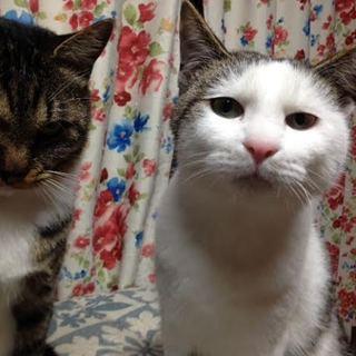 垂れ目いわゆる情けない顔のアトムくん♂子猫