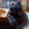 穏やかな黒ポメラニアン♀ミンクちゃん