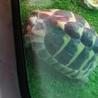 ヘルマン リクガメの里親様は決まりました