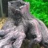 ライオンヘッドシクリッド ・セルフィンプレコ2匹(幼魚)水槽ごと