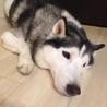 2008年7月生まれのハスキーのノエル君 サムネイル4