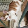 島根県出雲保健所で飼い主さん募集中の茶白オス猫