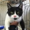 島根県出雲保健所で飼い主さん募集中の白黒オス猫