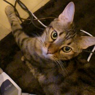 【最募集】2歳オス猫の里親募集してます。