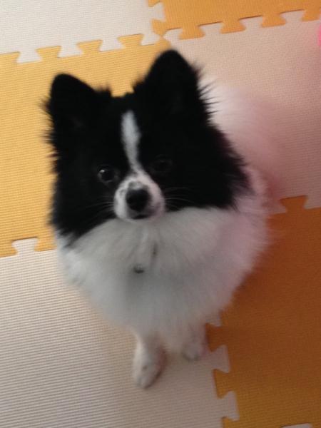 「元気で人懐っこいポメです...」三重県 - 犬の里親募集(58317)