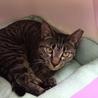 キジトラ子猫女の子❧ねね❧手術済1歳半 サムネイル4