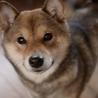 人間大好きな甘えん坊。ぽちゃ豆柴ジャコ♀1歳!