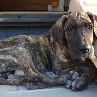 グレートデーン5ヶ月子犬