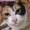 迷い猫ちゃん保護しました。かわいい三毛です。