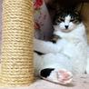 壁伝いにす~りすり猫白血病(+)♂チロル サムネイル2