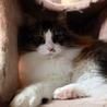 高音ソプラノボイスの のじょみくん♂猫白血病(+) サムネイル5