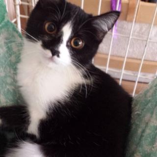 かわいい白黒ハチワレ猫です!