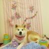 可愛い男の子の秋田犬