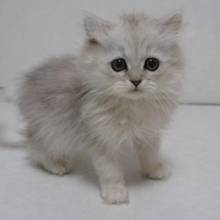 ペルシャの仔猫