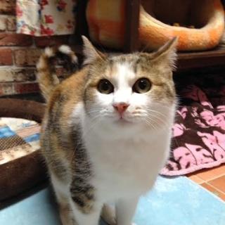 エキゾチックな顔立ち美猫のつぼみちゃん♀キジミケ